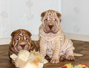 Фото: Сказочно красивые щенки Шар-Пея в Чите